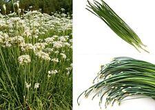 Garlic Chives 250 seeds  Herb  * Allium Tuberosum  * ez grow * CombSH E52