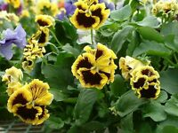 """Pansy Seeds Victorian Yellow Picotee 50 Seeds """"Unique Look"""""""