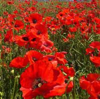 Wild Flower Red Field Poppy Papaver Rhoeas 30000 Seeds Annuals