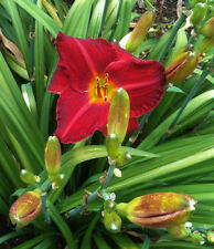 Daylily Pardon Me Red Mini Hemerocallis perennial ~ Df or 2 Plants
