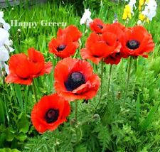 ORIENTAL POPPY MIX - 1200 SEEDS - Papaver Orientale - PERENNIAL FLOWER