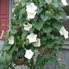 MOON VINE Moonflower✿30 Seeds✿Ipomoea alba✿LARGE White Morning Glory✿FRAGRANT
