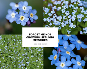 Forget-Me-Not - Easy Grow Cottage Garden - 500 Seeds - Blue Wildflower, Sow Now