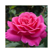 Rose Bare Root Plant 'Pink Peace' Hybrid Tea Deep Pink Scented Roses