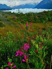 Matanuska Glacier Alaska Summer Mountain Fireweed  9.75 x 12 Metal Art Print