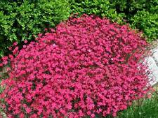 0.2g (approx. 800) maiden pink seeds DIANTHUS DELTOIDES best for rock gardens