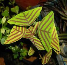 5 organic Christia Obcordata seeds - Swallowtail for home garden decoration