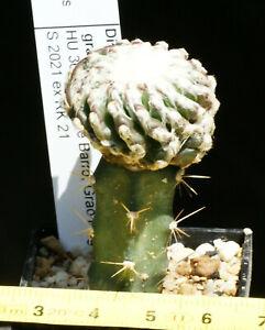 Discocactus horstii HU 360   grafted 3 cm   no Ariocarpus Aztekium Turbinicarpus