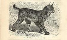 Stampa antica LINCE PARDINA Lynx pardinus 1891 Old antique print