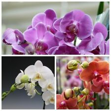 50 Phalaenopsis Orchid Flower Seeds 3 Kind Perennial Home Garden Beautiful Plant