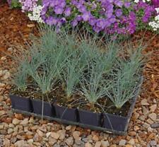 Ornamental Grass Seed - Fescue Amethystina Seeds