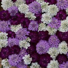 50+ IBERIS FLASH BRILLIANT MIX EVERGREEN CANDYTUFT FLOWER SEEDS / DEER RESISTANT