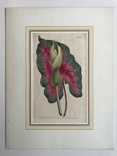 Hand Colored Copperplate Francis Sansom - Sydenham Edwards - Arum Arum