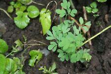 Lerchensporn - 3 Pflanzen aus dem Garten - gelbblühend