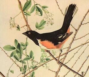 John James Audubon EASTERN TOWHEE Bird Original Vintage Art Book Plate
