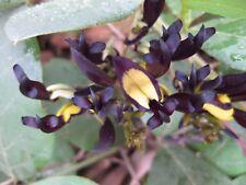 Kennedia nigricans - Stunning Black Coral Pea - 10 Fresh Seeds