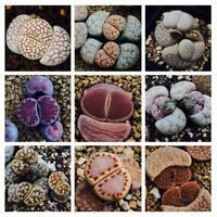50PC RARE Mix  Lithops Samen Seltene gemischte lebende Steine Sukkulenten K Y6B3
