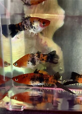 Koi Tricolor Swordtail Live Fish ( 1 Male 1 Female )