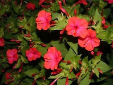 25 Red Four O'Clock Marvel of Peru Mirabilis Jalapa Flower Seeds + Gift Comb S/H