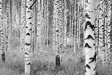 XXL Vello Foto Wallpaper Komar Woods XXL4-023 Alberi Della Foresta Betulla