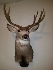 Shoulder Mount 4x5 Point Mule Deer Real Antler Whitetail Buck Taxiderm