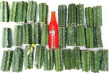 "San Pedro Echinopsis Trichocereus Pachanoi Cactus 14+ Pounds of Healthy 5"" Cuts"