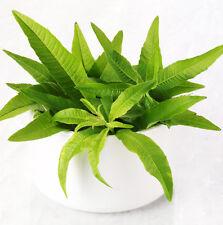 20 Sweetgrass Vanilla Seeds Sieve Bean Phaseolus Lunatus Herb Organic