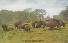 """*New York Postcard-""""American Bison Herd"""" ...Buffalos-  /NY Zoological Park/"""