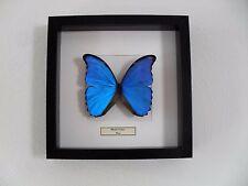 Morpho Didius Präparierter Schmetterling im Rahmen butterfly vlinder taxidermy