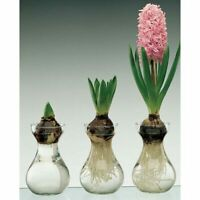 Clear Glass Hyacinth bulb forcing vase jar with bulb (Great Gift)
