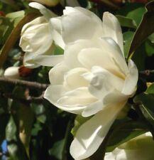 Michelia excelsa Temple Magnolia Doltsopa 10 seeds