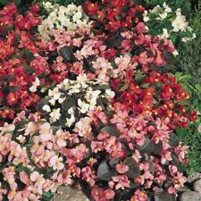 New Pack Begonia 'Sunshine Carpet Mixed' Flower Seeds Kings