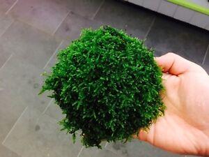 Java Moss Covered Half Coconut. Easy to keep - Shrimp - Aquarium Plant
