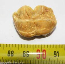 1 dent d Ursus spelaeus ( Rounanie - 009 )