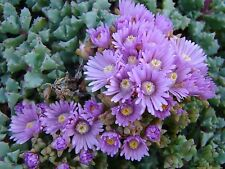 OSCULARIA DELTOIDES ICE PLANT(6x NON-ESTABLISHED 10cm CUTTING SPECIMEN PER LOT)