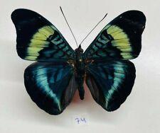 Nymphalidae Panacea prola a1 mâle mounted perou
