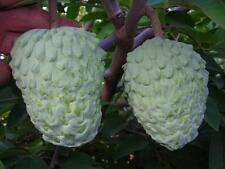 ATEMOYA - MALAMUD - Lots of Health Benefits - NON GMO -  Organic - 10 Seeds