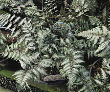 CRESTED JAPANESE PAINTED FERN *1001 SPORES (SEEDS) UNUSUAL PURPLE FRONDS