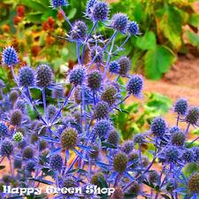 SEA HOLLY BLUE - Eryngium planum - 350 seeds - PERENNIAL FLOWER