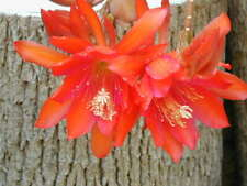 Epiphyllum succulent CUTTINGS x 2 : red or white flowering.