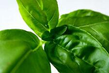 "200+ ITALIAN LARGE LEAF BASIL SEEDS - Non-GMO Heirloom Herb | Untreated ""PURE"""
