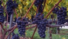1 FOCH Wine Grape Vine Plant * 1-2 Year Organic Grown * GRAPES FOR RED WINE