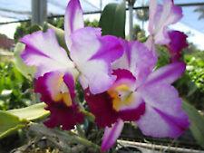"BIN) Blc Fatari 'Carmela' Cattleya Orchid Plant 2 1/2"" Pot"