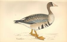 1865 ca - ANTIQUE ORNITHOLOGICAL PRINT-  WHITE FRONTED GOOSE