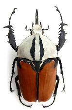 Mecynorrhina oberthueri f.oberthueri , Monster + Aberation, size: 79mm , 6/37