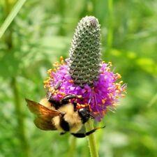 500+PURPLE PRAIRIE CLOVER Seeds American Heirloom Wildflower Butterflies Bees