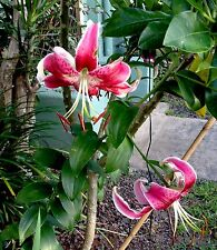 Japanese Lily plant scarlet Delight - x flowering size bulb,,,VERY SHOWY
