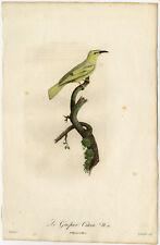 Rare Antique Print-GUEPIER-CITRINE WAGTAIL-Pelletier-Levaillant-Barraband-1801