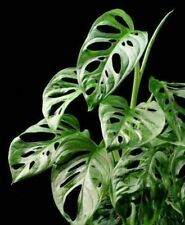 100Pcs Philodendron Plants Seeds Mix Clean Air At Home Swiss Cheese Erubescens