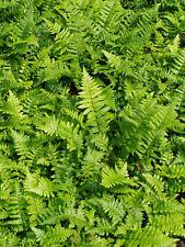 Florida Shield Fern 25 Plants in 3-1/2 inch Pots Free Shipping